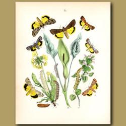 Owl Moths: Lover's Knot, Heart and Dart