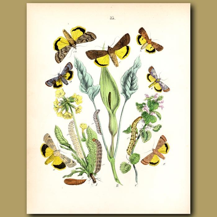Antique print. Owl Moths: Lover's Knot, Heart and Dart