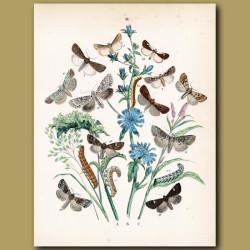 Moths: Hebrew, Quaker, Spotted