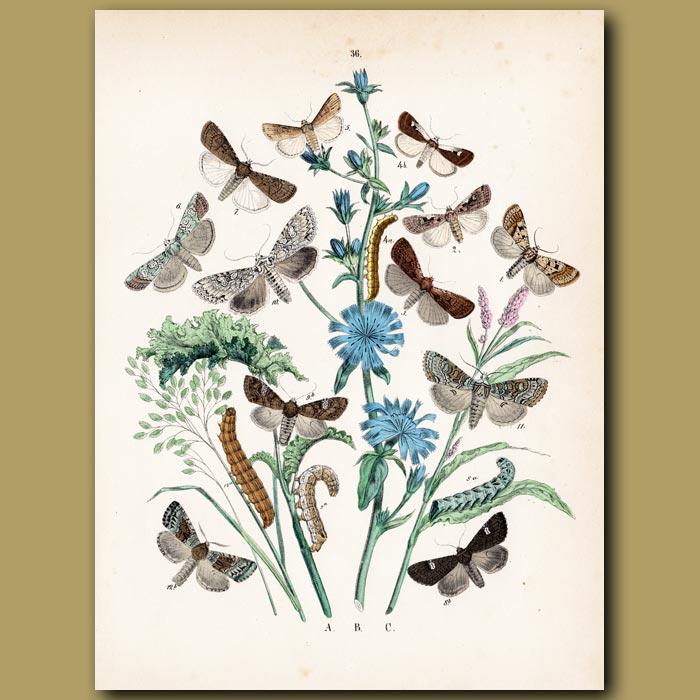 Antique print. Moths: Hebrew, Quaker, Spotted