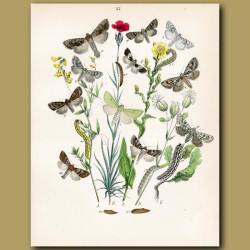 Owl Moths: Silver Cloud, Herals and Golden Rod