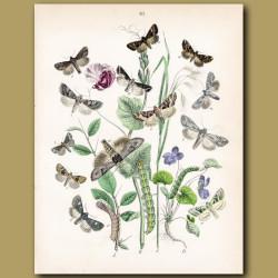 Owl Moths: Gothic, Golden and Bullrush