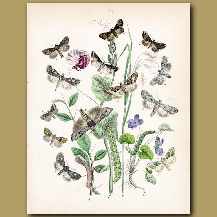 Antique print. Madder Hawk Moths