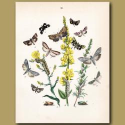 Owl Moths: Dog Tooth and Brown Eye