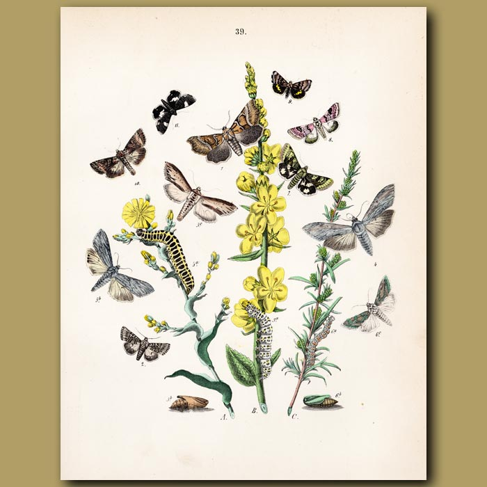 Antique print. Owl Moths: Dog Tooth and Brown Eye