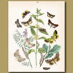 Owl Moths: Mirror, Purple Clod and Marvel