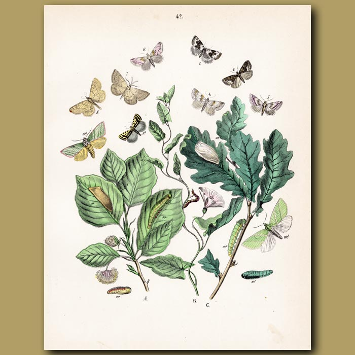 Antique print. Owl Moths: Beautiful Yellow and Marbled Clover