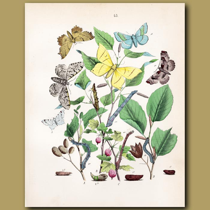 Antique print. Owl Moths: Red Underwing, Blackneck