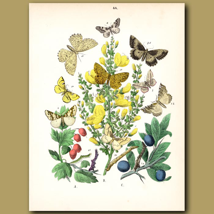 Antique print. Moths: Early Thorn, Brimstone, Early Moth