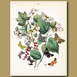 Mocha, Panther, Magpie Butterflies