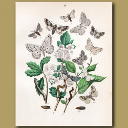 Looper Moths: Lilac Beauty, Brimstone