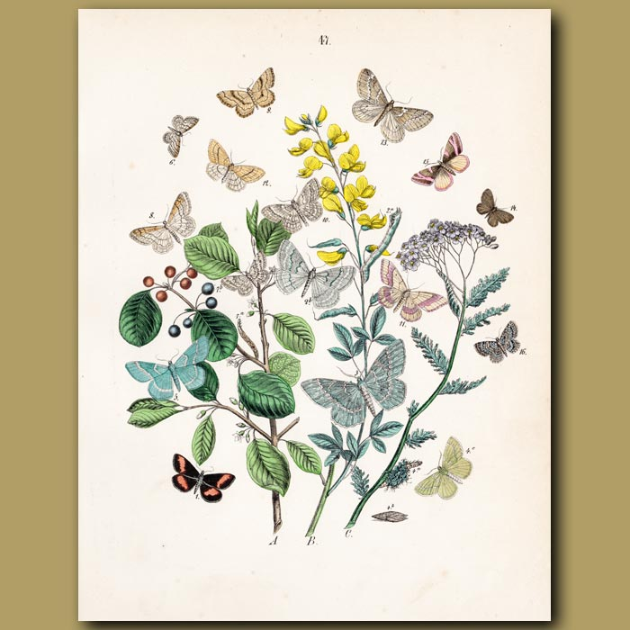 Antique print. Beauty, Peacock and Waved Moths