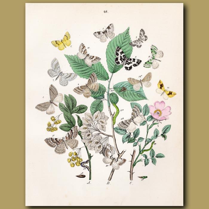 Antique print. Beauty and Looper Moths