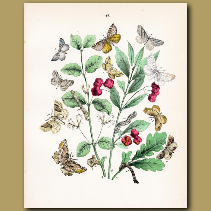 Antique print. Tan colored Looper Moths