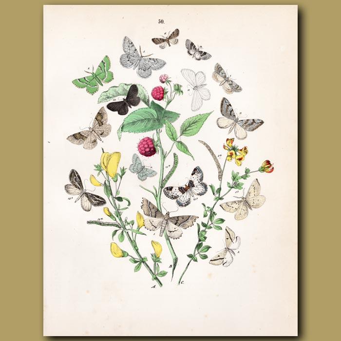 Antique print. Looper Moths: Purple Bar, Flame Carpet, Clouded Yellow