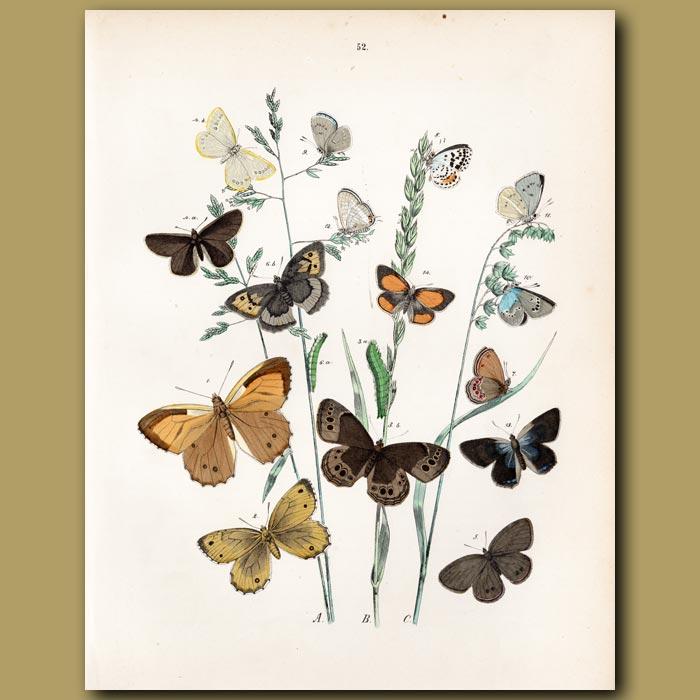 Antique print. Hawk Moths: Hawk, Buff, Ochre
