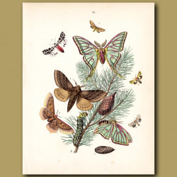 Spanish Moon Hawk Moth