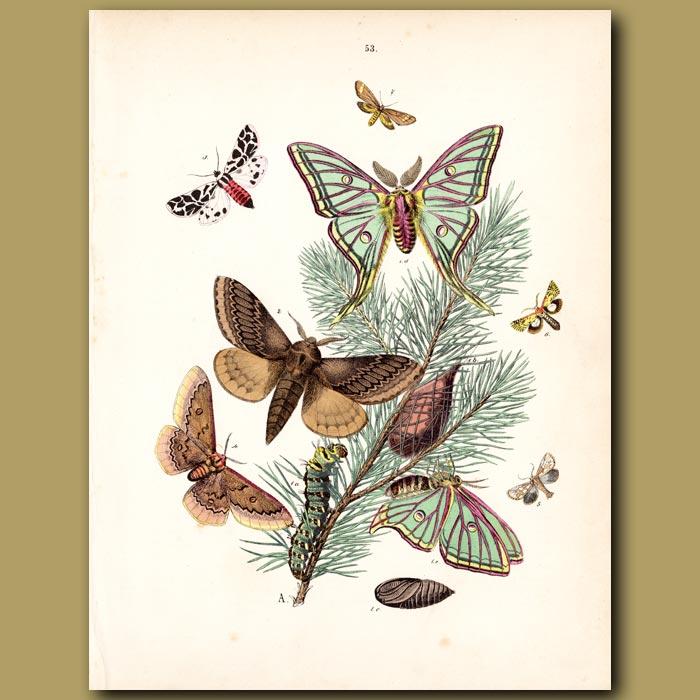 Antique print. Spanish Moon Hawk Moth