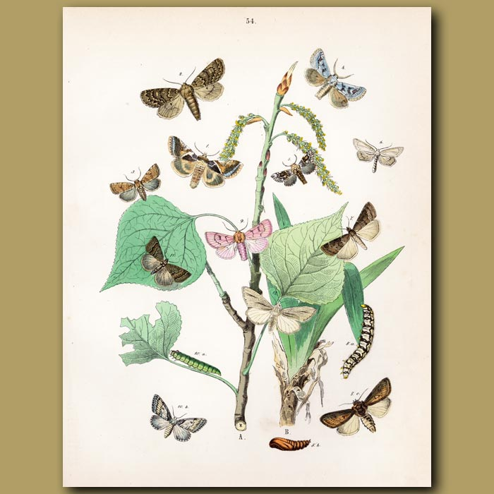 Antique print. Gold Chine, Starry and Crimson Moths
