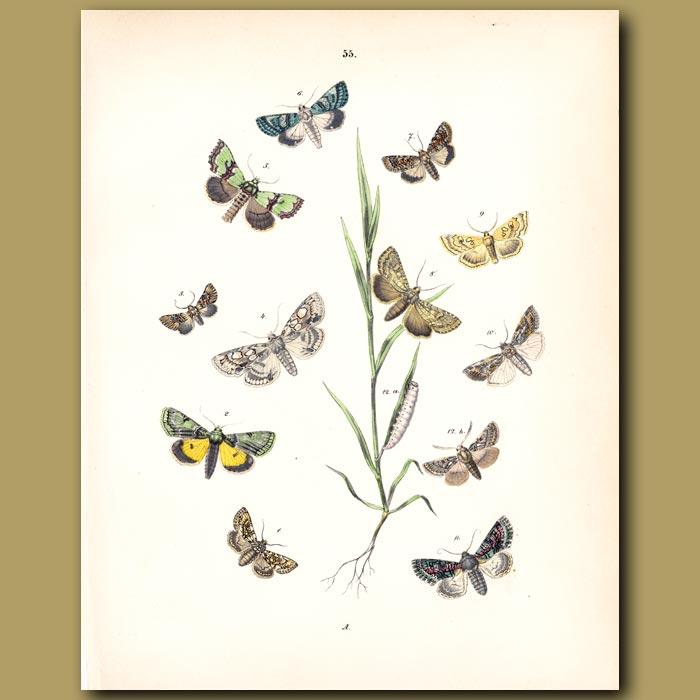 Antique print. Meadow Moths on Grass