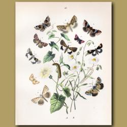 Tortoiseshell Moths