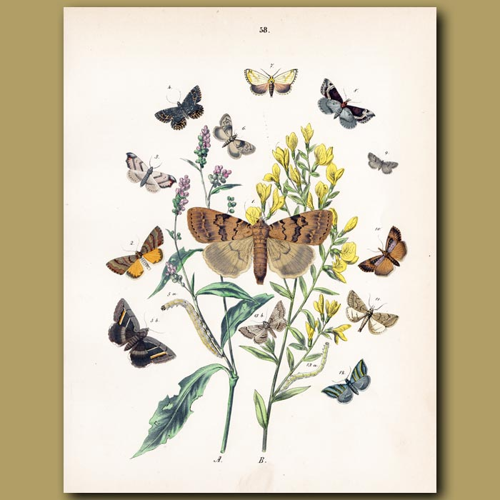 Antique print. Copper and Grey Moths