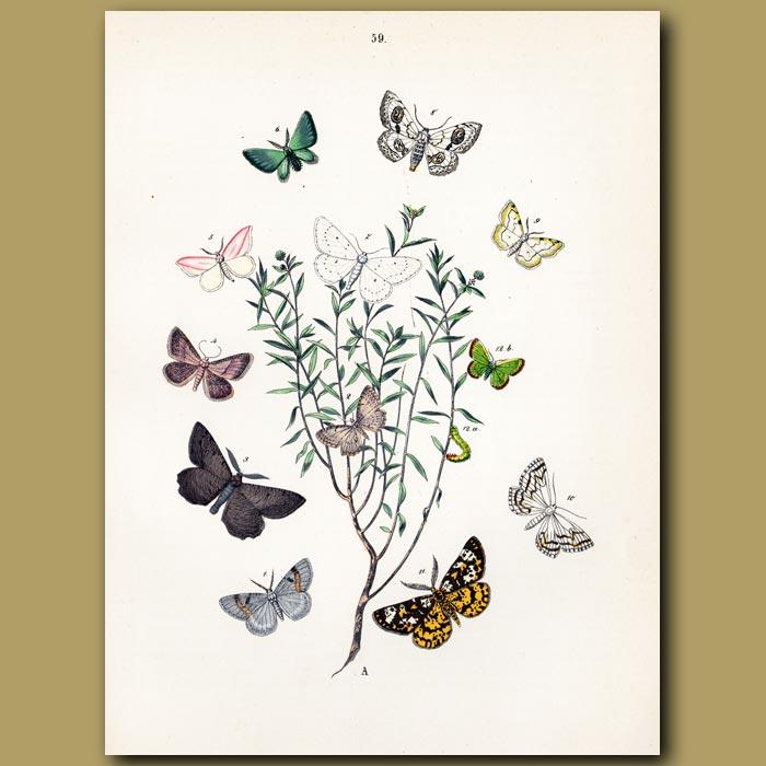 Antique print. Tortoiseshell Moths