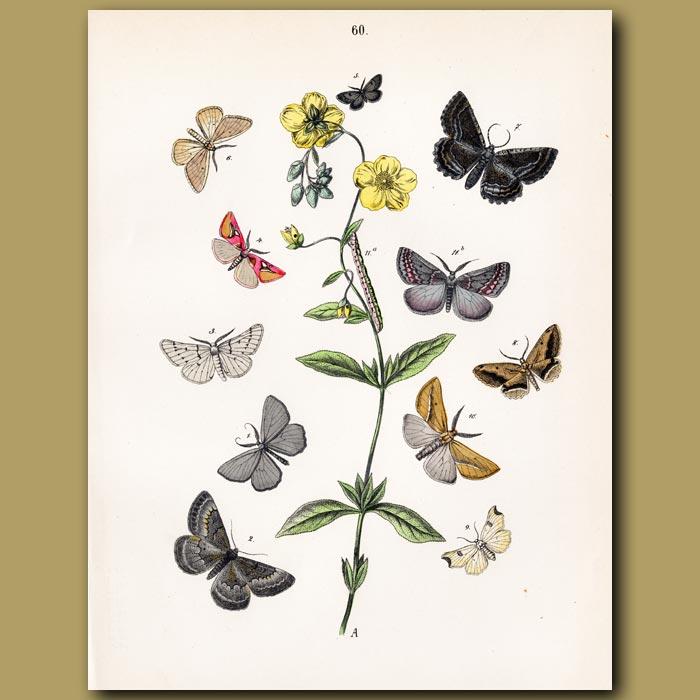 Antique print. Owl Moths: Gothic, Golden and Bullrush