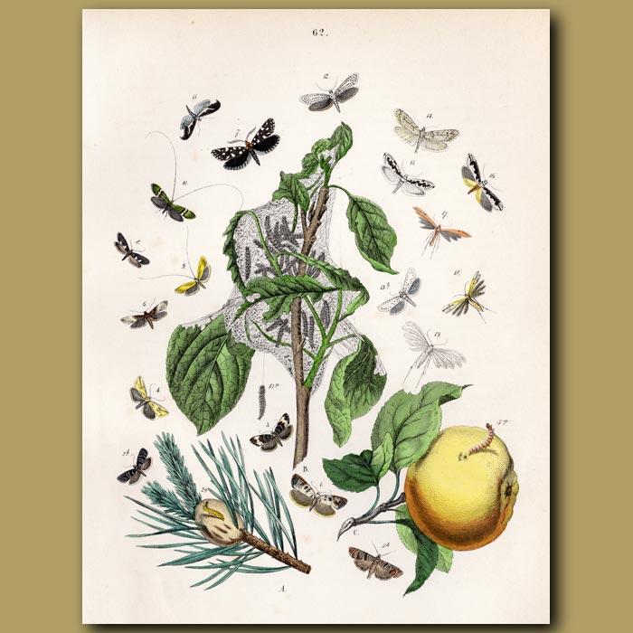 Antique print. Lace Moths and Orange Fruit