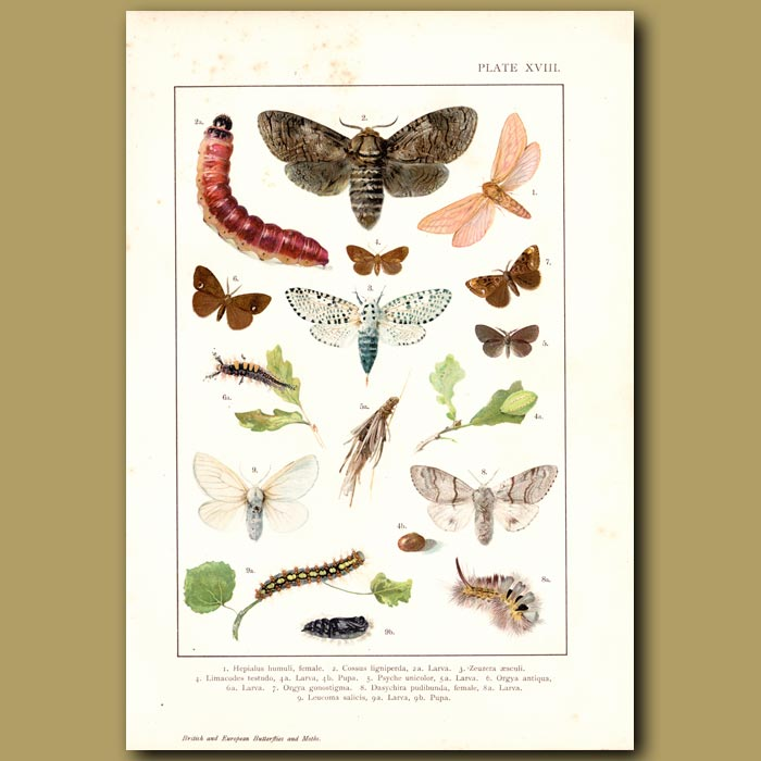 Antique print. Various Colourful Butterflies And Moths
