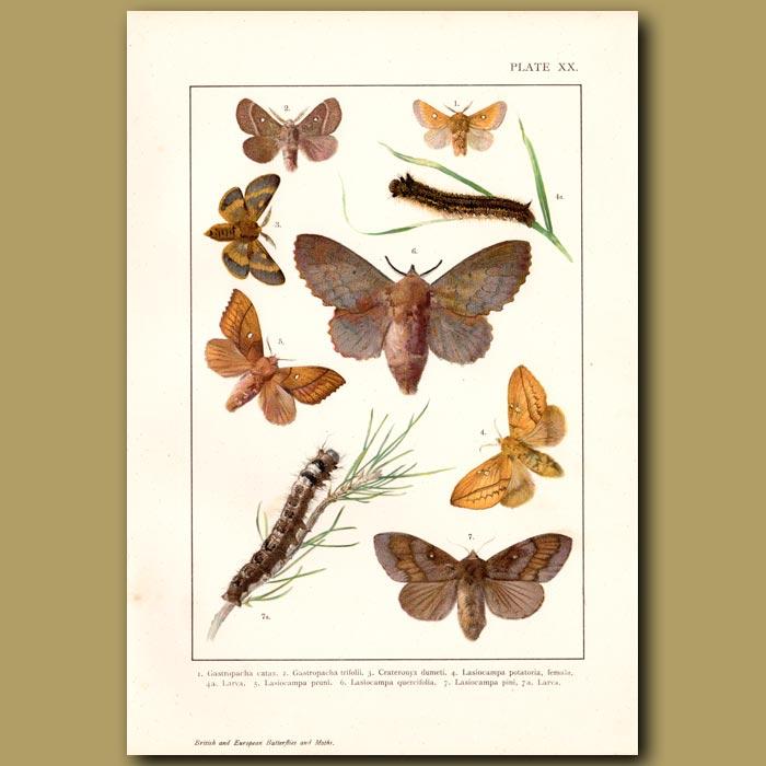 Antique print. Tan And Khaki Moths