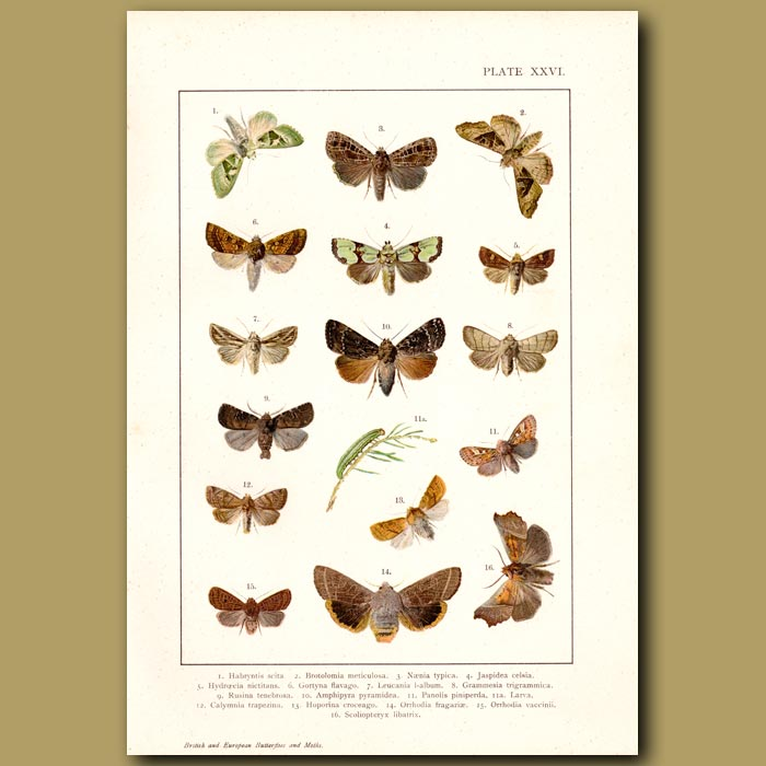 Antique print. Lime Green And Khaki Moths
