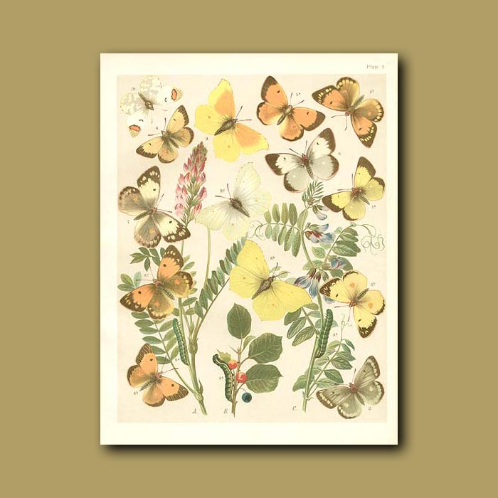 Antique print. Butterflies: Yellow and Brimstone (Pieridae)