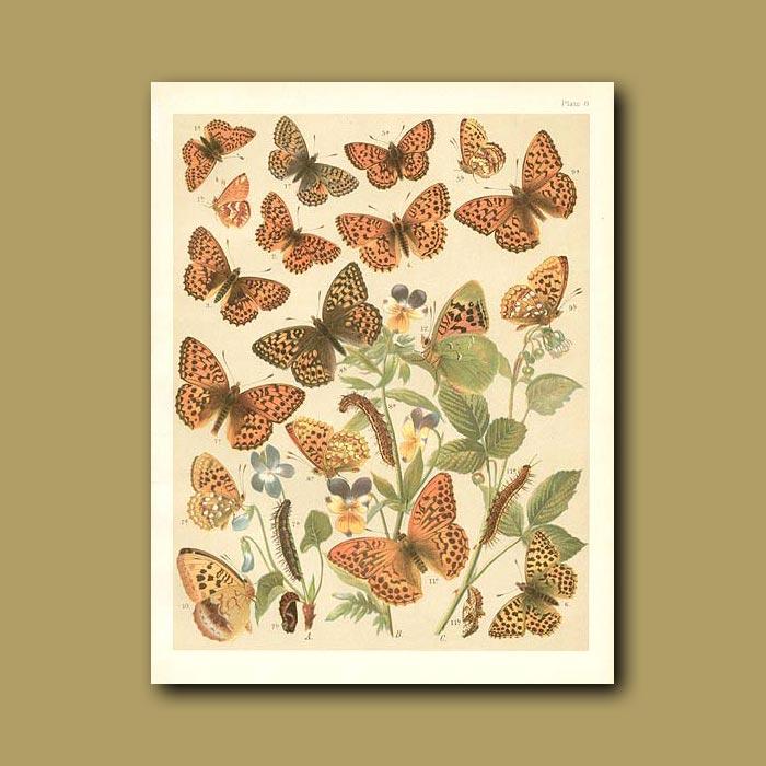 Antique print. Butterflies: Various Fritillary (Nymphalidae)