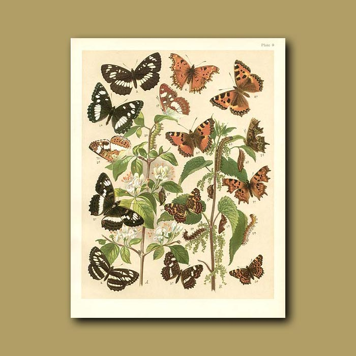 Antique print. Butterflies: White and Mediterranean Admirals, Map and tortoiseshells (Nymphalidae)