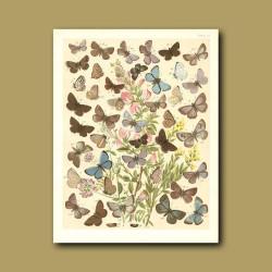 Butterflies: Blue and Brown etc (Lycaenidae)