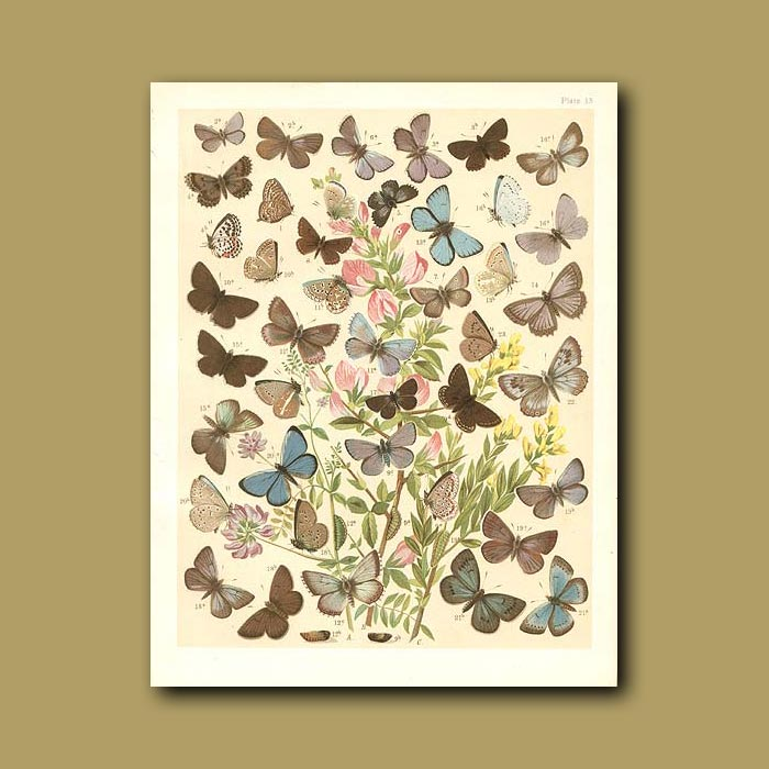 Antique print. Butterflies: Blue and Brown etc (Lycaenidae)