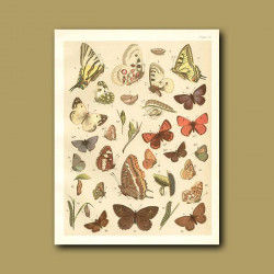 Butterflies: Various including Swallow tails, Painted Lady, Admiral and Copper