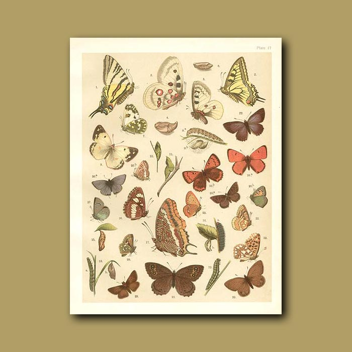Antique print. Butterflies: Various including Swallow tails, Painted Lady, Admiral and Copper