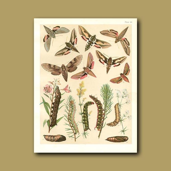 Antique print. Hawk Moths: Elephant etc (Sphingidae)