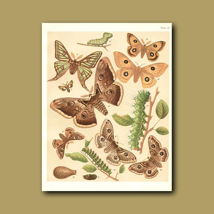 Antique print. Peacock and Emperor Moths