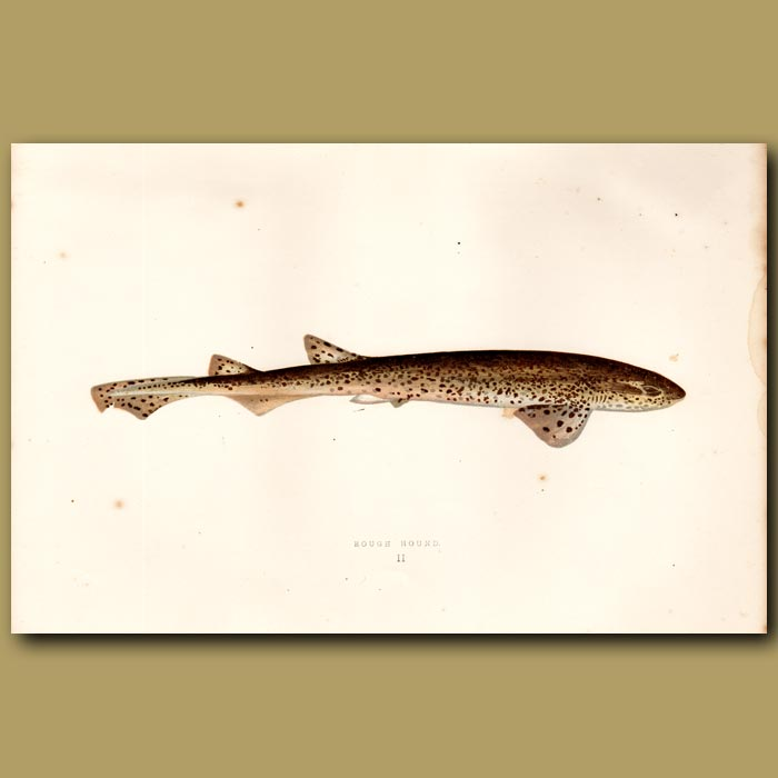Antique print. Nurse Hound Shark