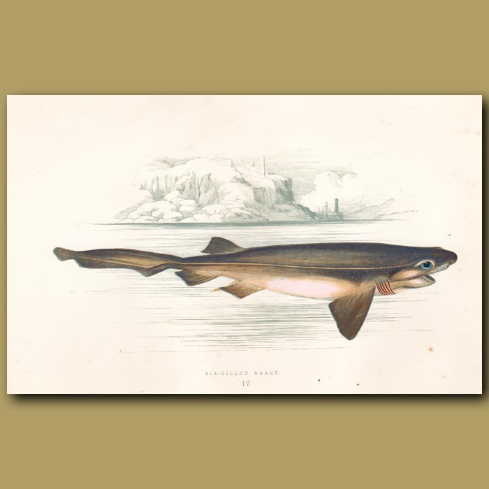 Antique print. Six-gilled Shark
