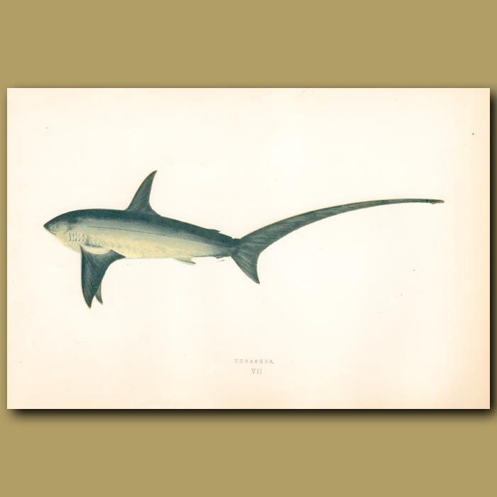 Antique print. Thrasher Shark