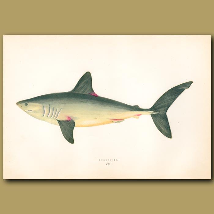 Antique print. Porbeagle Shark