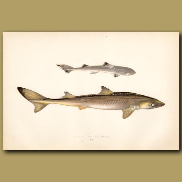 Antique print. Smooth Hound Shark