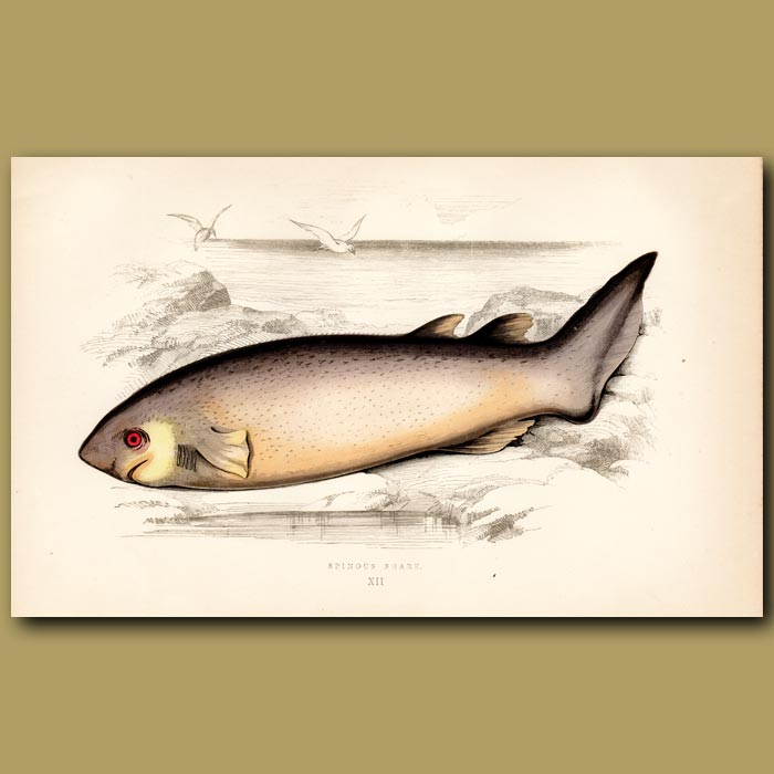 Antique print. Dogfish or Picked Dog Shark