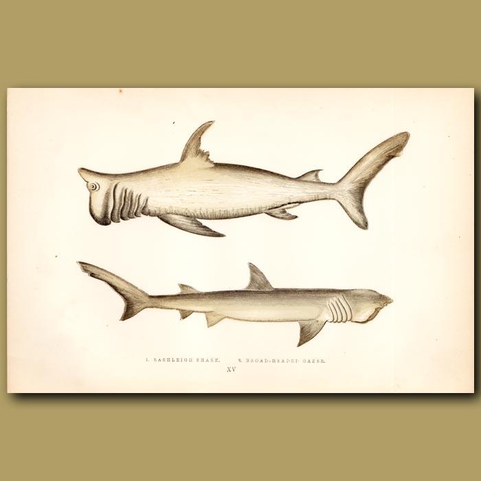 Antique print. Rashleigh Shark and Broad-headed Gazer Shark