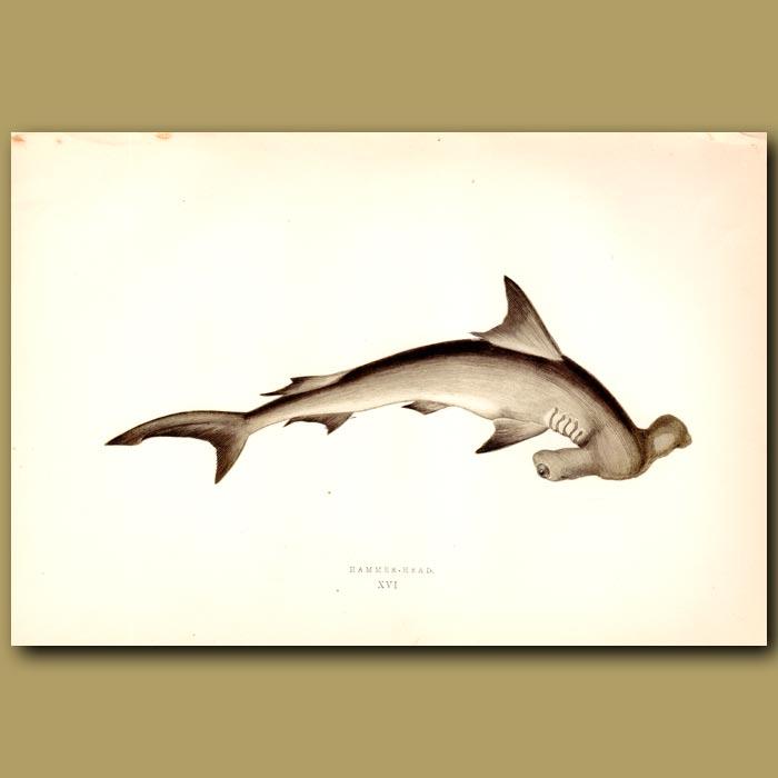 Antique print. Hammerhead Shark