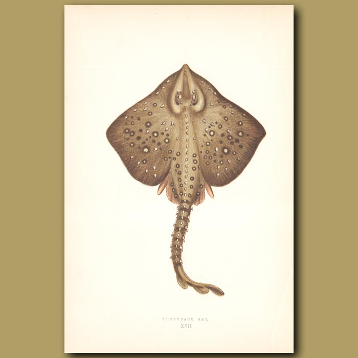 Thornback Ray: Genuine antique print for sale.